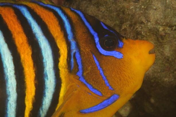 Pesce Angelo Reale